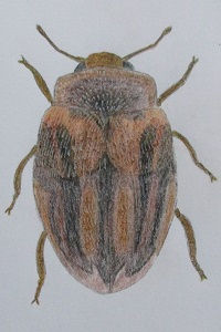 chrysomeloides_7934.JPG