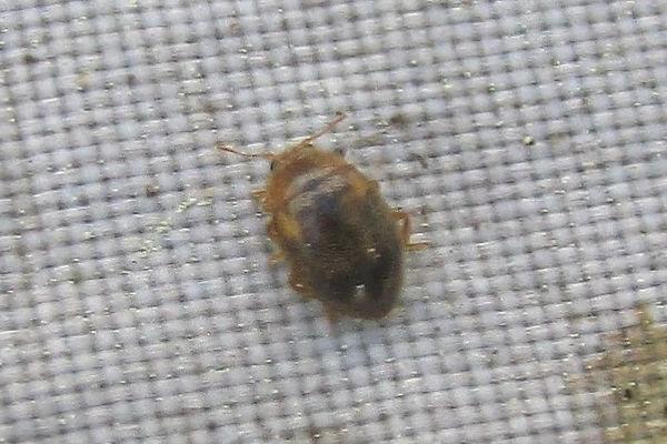 rhyzobius chrysomeloides_0702.JPG