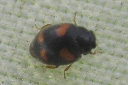 wa nephus quadrimaculatus_8190.JPG