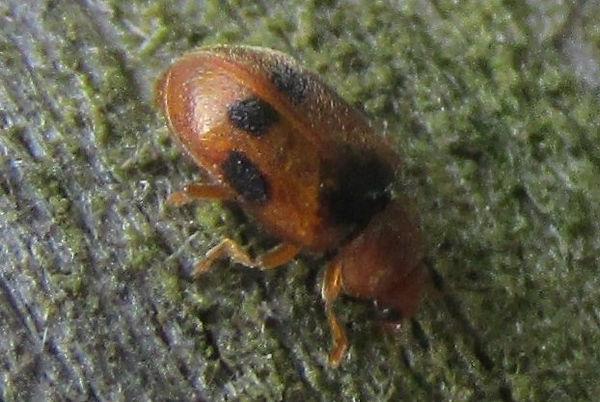 amwell coccidula scutelleta_3127.JPG