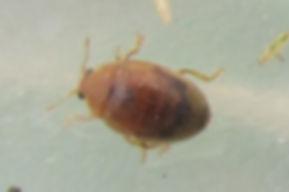 griffin rhyzobius litura_0582 (2).JPG