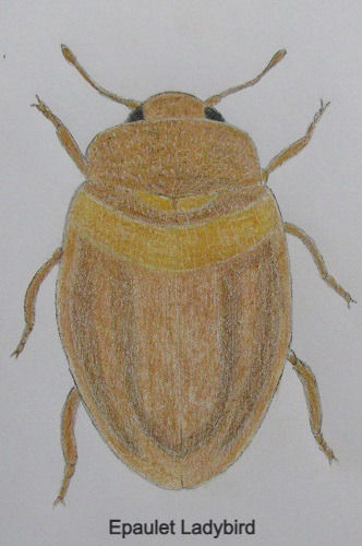 chrysomeloides_7935_edited.jpg
