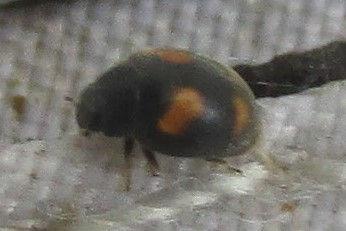 FG nephus quadrimaculatus_0570.JPG