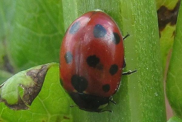 11-spot ladybird cudmore_2014 (2).JPG