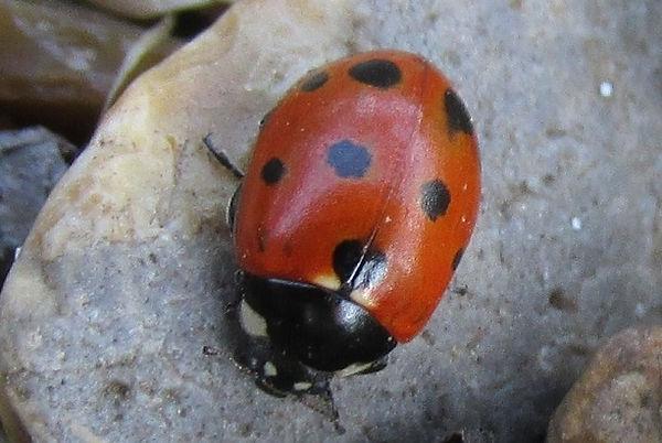 11-spot ladybird southend_3841.JPG