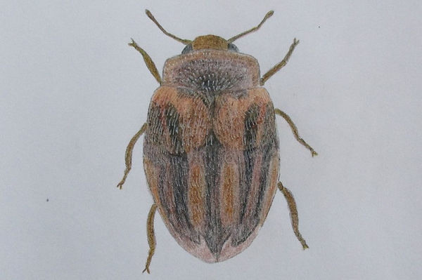 d chrysomeloides_7934.JPG