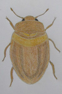chrysomeloides_7935.JPG