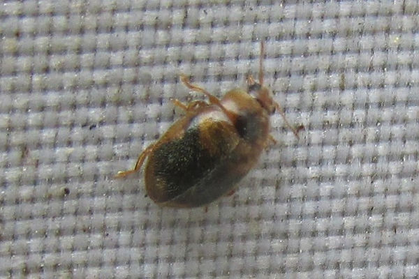 chrysomeloides_2365.JPG