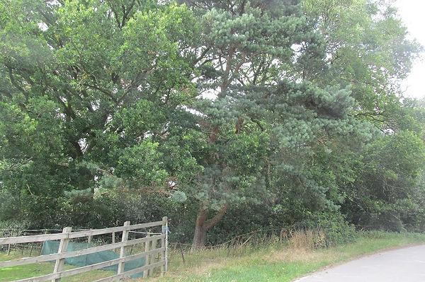 oak 3785.JPG