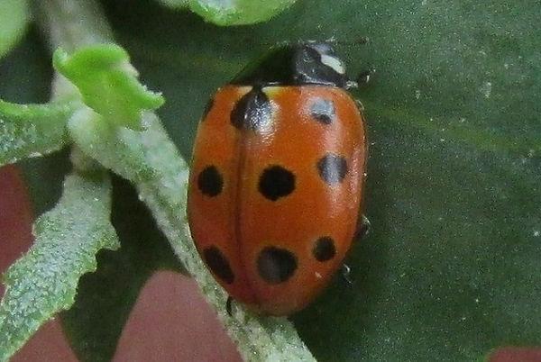 11-spot ladybird shoebury_3672.JPG