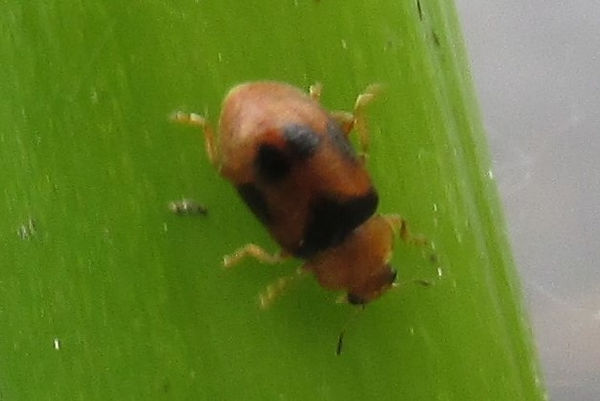 clayton coccidula scutellata_4125.JPG