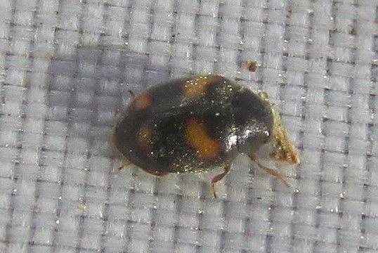 ivy ladybird_0985 (3).JPG