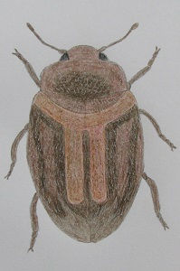 chrysomeloides_8096.JPG
