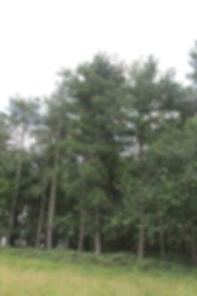 z pine tree.JPG