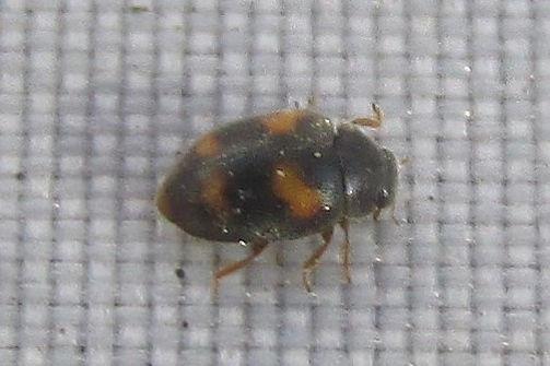 nephus quadrimaculatus_0983 (3).JPG