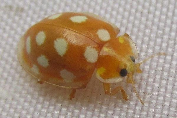 orange ladybird EF_0899 (2).JPG