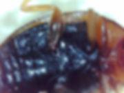 x rhyzobius litura_195128.jpg