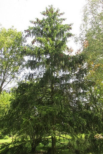 z ornamental pine.JPG