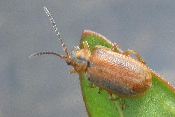 Galerucella lineola FG 384.JPG