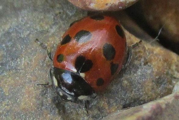 11-spot ladybird w mersea_2145 (2).JPG