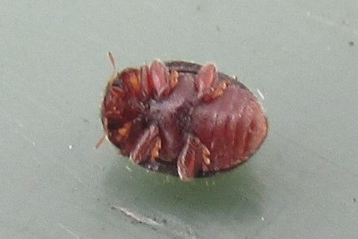 x rhyzobius lophanthae_3710.JPG