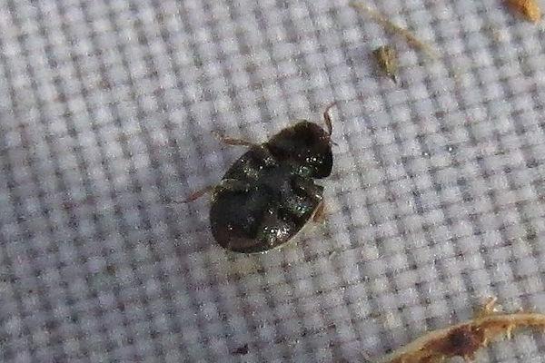 nephus quadrimaculatus_8873.JPG