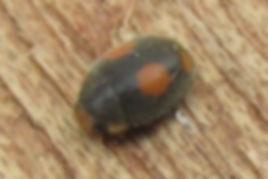 ant-nest ladybird canvey_0164 (2).JPG