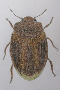 chrysomeloides 55.JPG