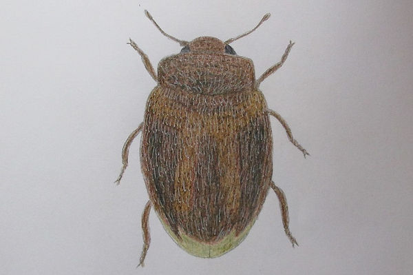 chrysomeloides_75711.JPG