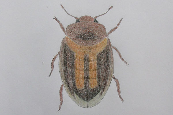 chrysomeloides_7907.JPG