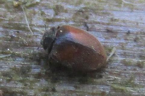 scymnus limbatus_6618.JPG