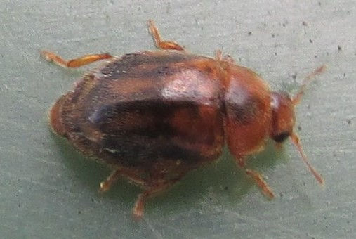 1 brox rhyzobius chrysomeloides_4265.JPG