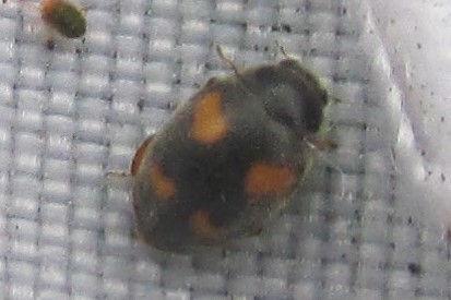 wa nephus quadrimaculatus_2915.JPG