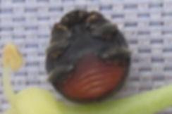 x scatter rhyzobius forestieri_5465.JPG