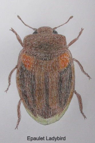 chrysomeloides_7569_edited.jpg
