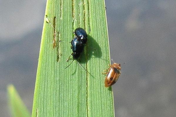 y iris flea beetle_1190.JPG
