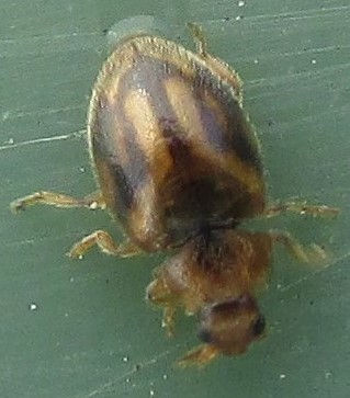 5 chingford rhyzobius chrysomeloides_183