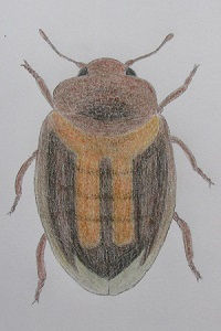 chrysomeloides 38.JPG