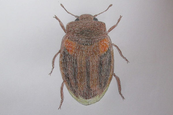 a chrysomeloides_7569.JPG
