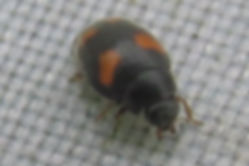 wa nephus quadrimaculatus_8276.JPG