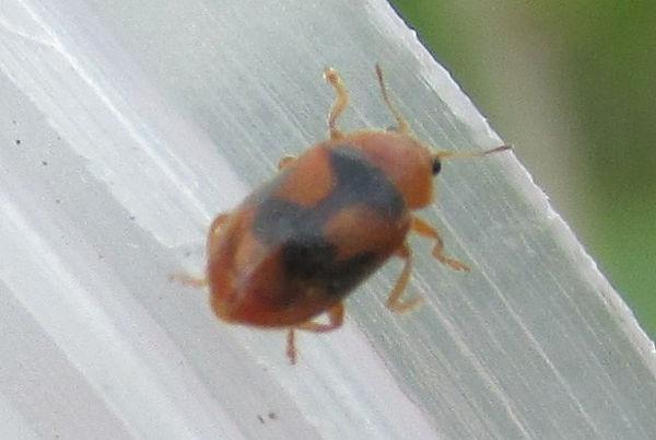 cudmore coccidula scutellata_2111.JPG