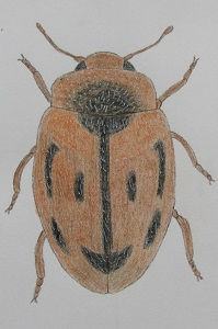 chrysomeloides_7972.JPG