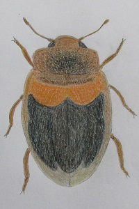 chrysomeloides_7936.JPG