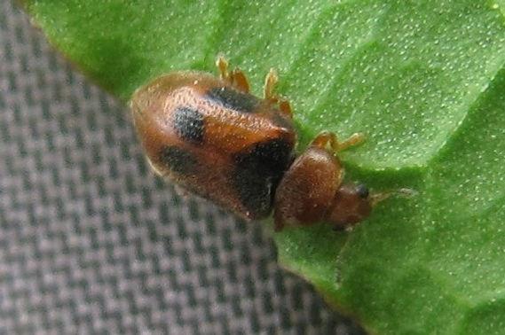 FG spotted marsh ladybird_2897.JPG
