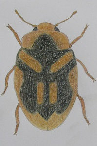 chrysomeloides_8106.JPG