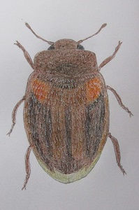 chrysomeloides 45.JPG