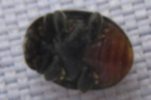 x scatter rhyzobius forestieri_5466.JPG