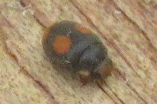 ant-nest ladybird canvey_0163.JPG