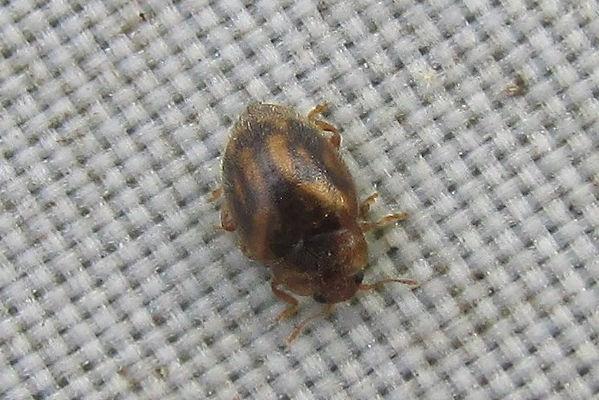 rhyzobius chrysomeloides_8907.JPG