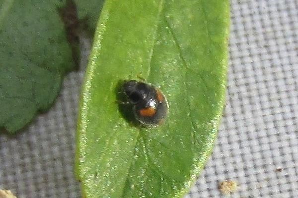 nephus quadrimaculatus_8870.JPG